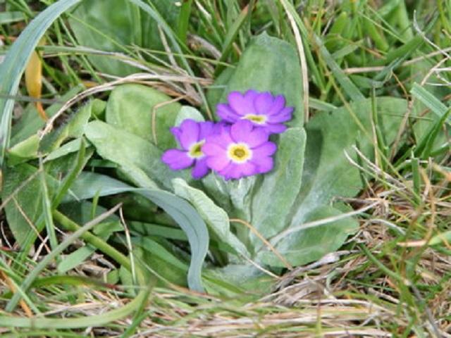Scottish_Primrose Primula scotica