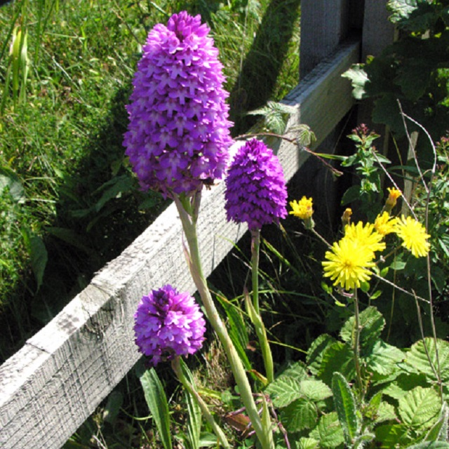 anacamptis_pyramidalis_pyramidal_orchid