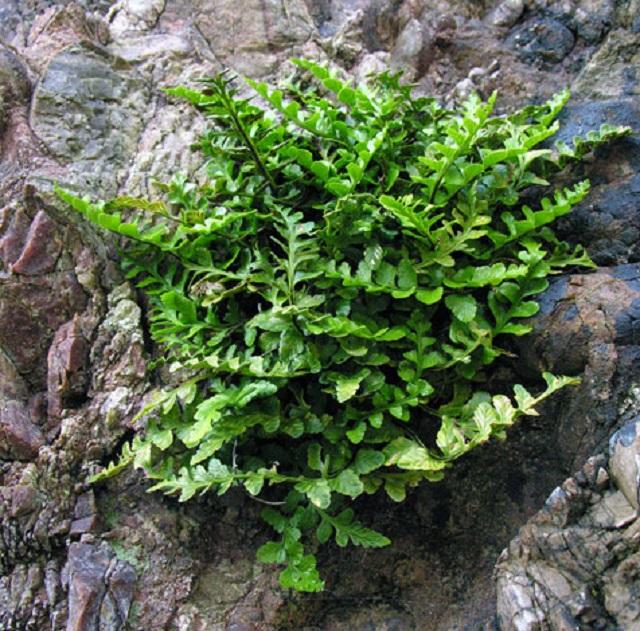 asplenium-marinu-_sea-spleenwort