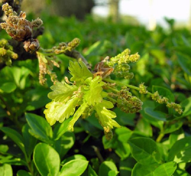 quercus-robur-pedunculate-oak