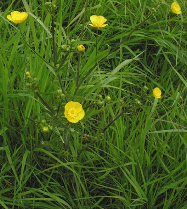 ranunculus-acris-meadow-buttercup