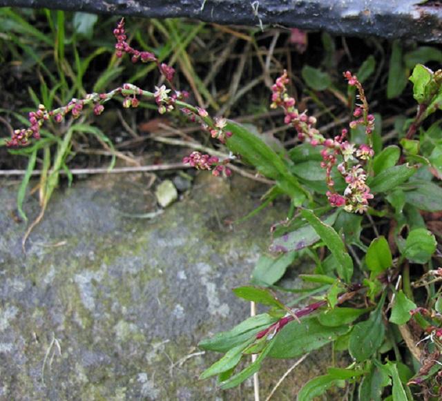 rumex-acetosella-coastal plant