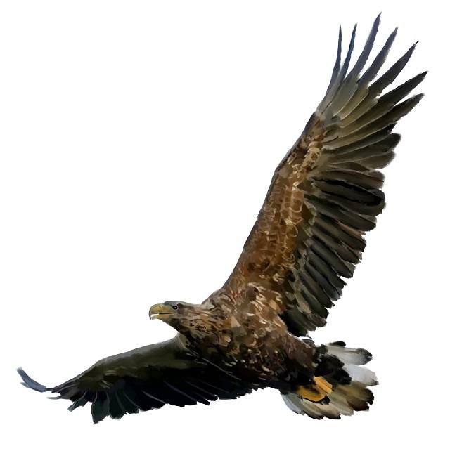 Haliaeetus-albicilla White-tailed eagle